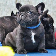 French Bulldog Puppy ❤️❤️❤️❤️