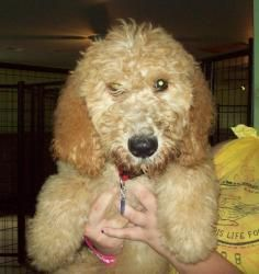 Aspen (Pending!) is an adoptable Golden Retriever Dog in Owatonna, MN. Aspen is a 3 month old, male GoldenDoodle puppy looking for his forever home. He is sweet, playful and loves attention. Please re...