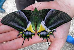 The Golden Kaiser-i-Hind, Teinopalpus aureus, regarded as the rarest, most precious and valuable species of butterfly, is found in Vietnam and China