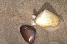 pipis - Google Search Tap Shoes, Dance Shoes, Sea Shells, Medicine, Survival, Google Search, Beach, Nature, Food