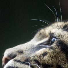 a clouded leopard.  my favorite wild cat.