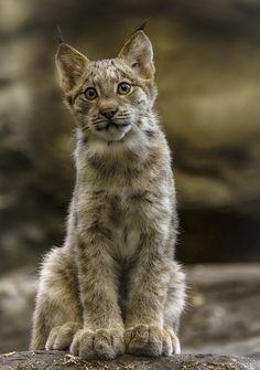 Baby Lynx in Canada (by MichelGuérin)