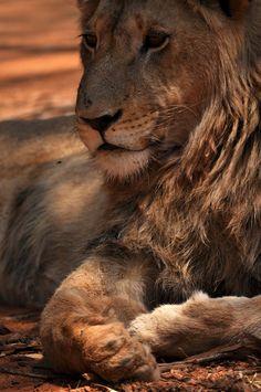 Lion King by ~Joaninha88