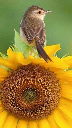 One of a birds favorite seed.the sunflower! Kinds Of Birds, All Birds, Little Birds, Love Birds, Pretty Birds, Beautiful Birds, Sunflowers And Daisies, Sunflower Pictures, Sunflower Garden