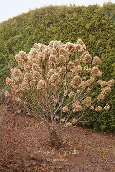 Lecę w kulki...: Jak przycinać hortensje bukietowe ? Deck Enclosures, Garden Design, Landscape, Plants, Fotografia, Landscape Designs, Plant, Landscaping, Yard Design