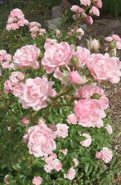 Collector of many things, cats, plants & baby mama, a kid at heart 🎠 Beautiful Roses, Pretty In Pink, Beautiful Flowers, Romantic Roses, Flowers Nature, Pink Rose Flower, Pink Roses, Every Rose, Pink Garden