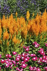 Remember I said I always leave room in the garden for different annuals to keep the garden in bloom thru out fall...i planted this last year. Celosia look like feathered paint brushes. We had yellow, pink and red..such vibrant color