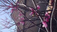 Judas tree blossoming ....