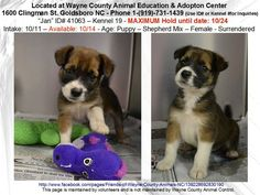 """THIS IS """"JAN""""~KILL DATE 10/24 CALL: 919 731 1439 Fem Shep Mix Puppy ID#41063 kennel 19 WAYNE COUNTY Animal Ed & Aopt Cntr, 1600 Clingman St GOLDSBORO NC. This adorable little girl will become available 10/14. She's just a baby, perfect for almost any family but she doesn't have much time. Think of the fun & companionship that would fill your life with loyalty, devotion & enduring love. Someone IN the Goldsboro area NEEDS to get in & SAVE HER LIFE! TAKE HER WITH YOU TO HER FUREVER HOME…"""