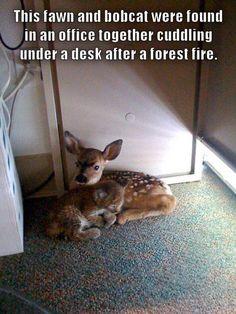 Fawn and Bobcat Kitten Cuddling Jesusita Fire Santa Barbara County California - This makes my heart melt!!