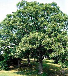 Illinois state tree - white oak official in 1973 Peoria Illinois, Illinois State, East Peoria, Close To Home, Heartland, White Oak, Tree Of Life, Nebraska, Nifty