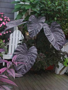 Big Leaf Palm Seeds Rare Flower Seeds Exotic Plants Tree Bonsai Pots Planters Tropical Ornamental Balcony for Home & Garden Tropical Landscaping, Landscaping Plants, Tropical Garden, Tropical Plants, Elephant Ear Plant, Elephant Ears, Unusual Plants, Exotic Plants, Shade Garden