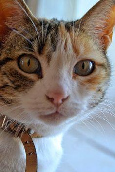 Beautiful cat, look at those eyes ^..^