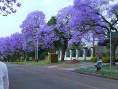 ジャカランダの季節に行くユーラシア旅行社の南アフリカツアー