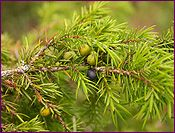 Juniper Berry Essential Oil Profile includes uses, constituents, aromatic description, extraction method, latin name, safety info and references.