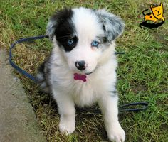 future puppy. merle border collie with blue eyes :)