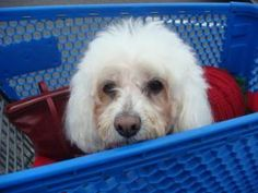 Look what we picked up at the store! :) MUFFY is an adoptable Bichon Frise Dog in Hamilton, NJ. Muffy is an absolutely adorable 8-9 year old bichon / lhasa apso / poodle mix looking for a special forever home. Shes a sweet, sweet, sweet gir...