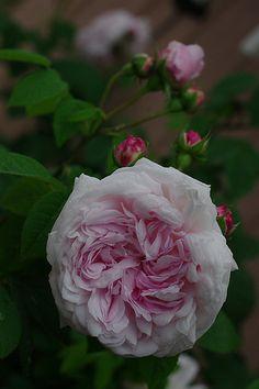 Gallica Rose: Rosa 'Antonia d'Ormois' (France, before 1835)