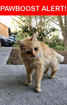 Is this your lost pet? Found in Lenoir City, TN 37772. Please spread the word so we can find the owner!  We found an orange and white cat around 8300 Beals Chapel Road in Lenoir City, TN on Friday, April 7th. She seems to be older, probably 10+ years old. She is blind and partially deaf. She is very sweet, cuddly, and seems like she is someone's pet. We're trying to find the owner.    We found her with head trauma and bleeding out of her nose. She walks in circles. We're not sure if she…