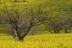 This could be from the ranch. Spring mustards bring the fields to life after the rainy winter months. When disced under, it provides the fruit trees with nitrogen. A great time to be in California! Yellow Fields, Winter Months, The Ranch, Fruit Trees, Back In The Day, Country Living, Mustard, Cottage, California