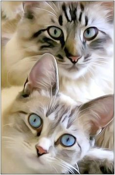 Look what I found... Beautiful Cats For Sale #view