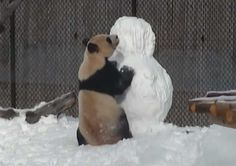 Panda i Sneško Belić u opasnom okršaju! VIDEO