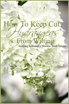 HOW TO KEEP CUT HYDRANGEAS FROM WILTING StoneGable is part of Planting hydrangeas - Want to keep cut hydrangea boom healthy and fresh Try these easy tips to keep your hydrangeas from wilting and rescue those blooms that are droopy Hydrangea Care, Hydrangea Not Blooming, Hydrangea Flower, Beautiful Flowers Garden, Pretty Flowers, Beautiful Gardens, Beautiful Things, Amazing Flowers, Summer Flowers