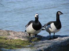 Valkoposkihanhi / Barnacle Goose