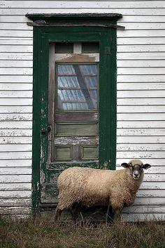 Let me in!! BAAAAA