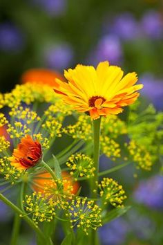 YELLOW AND GREEN;  Calendula 'Indian Prince' with Dill - Anethum graveolens