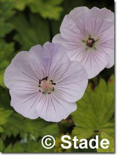 Geranium wallichianum 'Lilac Ice