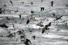Feeding Frenzy of Cormorants and Brown Pelicans eddy_MdO_bluff_MG_1758-9