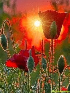 poppies & sunlight
