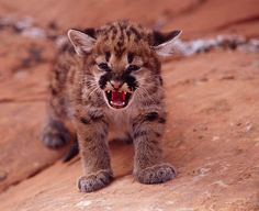 baby cougar - Google Search