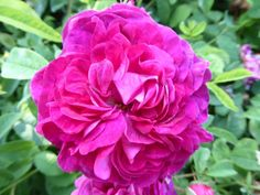 (87) The Friends of Vintage Roses