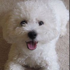 Buster my beautiful Bichon