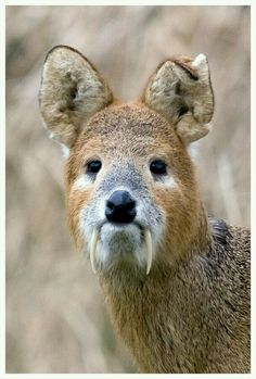 Chinese water deer a
