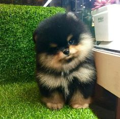 A black and tan Pomeranian!
