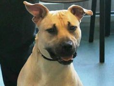 TO BE DESTROYED - 11/05/14 Brooklyn Center   My name is DESERT. My Animal ID # is A1018845. I am a male tan am pit bull ter and anatol shepherd mix. The shelter thinks I am about 1 YEAR   I came in the shelter as a OWNER SUR on 10/27/2014 from NY 11224, owner surrender reason stated was NYCHA BAN. https://m.facebook.com/photo.php?fbid=895364163809797&id=152876678058553&set=a.611290788883804.1073741851.152876678058553&source=46&ref=stream