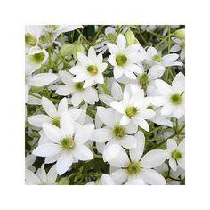 Clématite 'Michiko'® persistante  floraison avril-mai idéale pour grimper dans les arbres