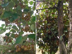 kivi metszese termes 01 Garden, Garten, Lawn And Garden, Gardens, Gardening, Outdoor, Yard, Tuin