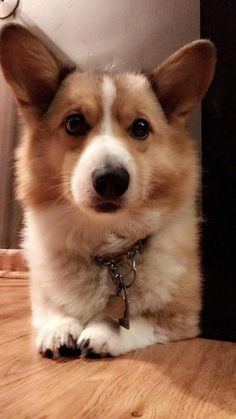 Oscar the corgo