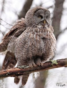 "Great Gray Owl ""Feather Ruffle"" 