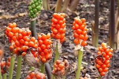 poisonous plants uk woodland - Google Search