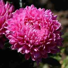 Chinese Aster Seeds - Callistephus chinensis - Annual Flower Seeds