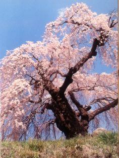 Un superbe et très âgé #Sakura..... (#Japon)