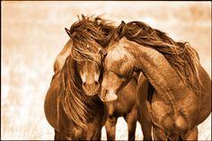 Love /// Roberto Dutesco, The Wild Horses of Sable Island