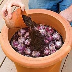Bulbs How to Plant Bulbs in a Container - planting in fall and leaving outside during winter will bring forth better blooms because of the exposure to winter cold! - Planting bulbs in containers in the fall will give you a sunny show for spring. Garden Bulbs, Garden Plants, House Plants, Garden Trellis, Garden Soil, Fruit Garden, Lawn And Garden, Home And Garden, Garden Kids