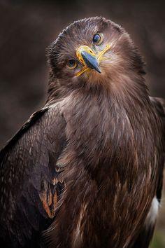 Bird of Prey - Raptor - Golden Eagle - from Mr.Jay