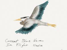 Great Blue Heron, in flight - 28 May 2012